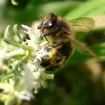free photos Royalty free photos of bees (Apis). Free photos of insects: wasps, bumblebees...