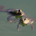 Foto libere Fotografie libere di anfibi (Amphibia). Foto di rane, rospi.
