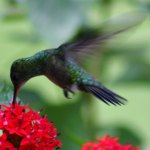 free photos Royalty free pictures of hummingbirds (trochilidae). Free photos of humming birds, photos of tropical birds...