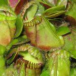 photos gratuites Photos libre de droit de Cephalotus (plante carnivore). Photos de Cephalotus folliculari... photos de plantes et de fleurs.