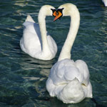 free photos Royalty free pictures of swans. Free photos of young swans and ducks...