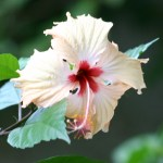 photos gratuites Photographies gratuites d'hibiscus, roses, oranges, jaunes et rouges. Photos libres de droit de fleurs d'hibiscus, de plantes...