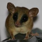 free photos Royalty free photos of jupati, free photos of Brown Four-eyed Opossum (South America).