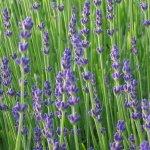photos gratuites Photographies gratuites de lavande. Photos de fleurs de lavande, de plantes...