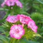 photos gratuites Photographies gratuites d'œillets. Photos d'oeillets roses et blancs, photos de plantes...
