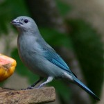 free photos Royalty free pictures of Blue-grey Tanager (Thraupis episcopus). Free photos of blue birds, photos of tropical birds...