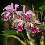 photos gratuites Photos gratuites d'orchidées (Orchidaceae). Photos de fleurs tropicales.