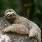 free photos Royalty free photos of three-toed sloths. Free picture of aï (Bradypus).