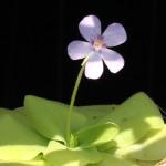 photos gratuites Photos libre de droit de pinguicula (plante carnivore). Photos de fleurs de pinguicula... photos de plantes et de fleurs.