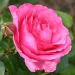 photos gratuites Photographies gratuites de roses miniatures, grimpantes, bourbon. Photos libres de droit de roses, de rosiers, de la roseraie du Parc Lagrange à Genève. Fleurs de roses, boutons de roses...