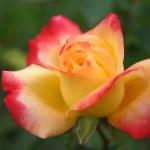 photos gratuites Photographies gratuites de roses hybrides de thé. Photos libres de droit de roses, de rosiers, de la roseraie du Parc Lagrange à Genève. Fleurs de roses, boutons de roses  hybrides de thé...