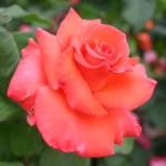 photos gratuites Photographies gratuites de roses. Photos libres de droit de roses, de rosiers, de la roseraie du Parc Lagrange à Genève. Fleurs de roses, boutons de roses, hybrdes de thé, floribunda...