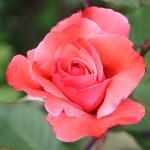 photos gratuites Photographies gratuites de roses floribunda. Photos libres de droit de roses, de rosiers, de la roseraie du Parc Lagrange à Genève. Fleurs de roses, boutons de roses floribunda...