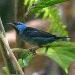 free photos Royalty free pictures of Blue Dacnis or Turquoise Honeycreeper (Dacnis cayana). Free photos of blue birds, photos of tropical birds...