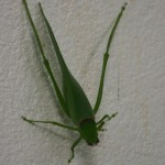 free photos Royalty free photos of grasshoppers (Orthoptera). Free photos of crickets, locusts.