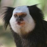 photos gratuites Photos gratuites de singes, macaques. Photos de petits singes, sagouins...