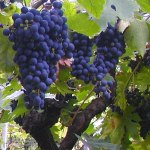 free photos Free photos of grapes, free pictures of grapes, wine, vine, vineyard, grape culture...