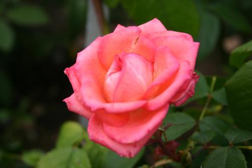 Dynastie Piccard - Meilland, Roses hybrides de thé
