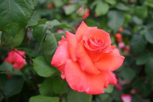 Christophe Colomb - Meilland, 1992, Roses hybrides de thé