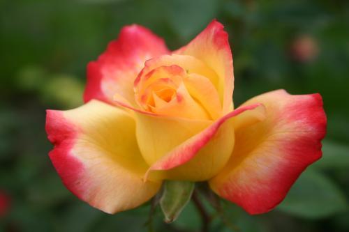 République de Genève - Laperrière, 1992, Roses hybrides de thé