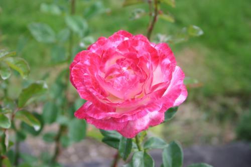 Déesse - Gaujard, 1957, Roses hybrides de thé