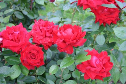 Ingrid Bergman - Poulsen, 1984, Roses hybrides de thé