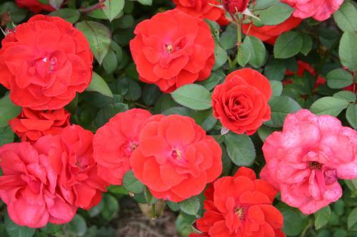 Alamein - S. McGredy IV, 1963, Roses floribunda