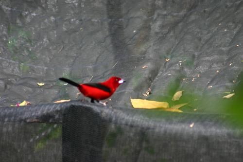 Tangara scarlate, Tangara du Brésil