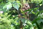 photographie gratuite Dacnis bleu mâle