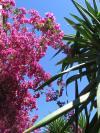 fotografia gratuita Buganvília