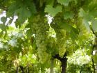 photographie gratuite Vignes
