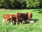 photographie gratuite Vaches