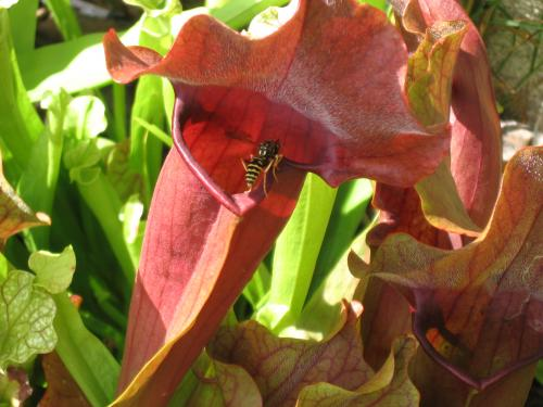 Sarracenia purpurea, Sarracenias