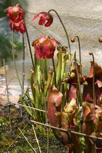 Fleurs de Sarracenia, Sarracenias