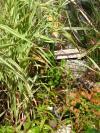 photographie gratuite Sarracenia psittacina et Darlingtonia