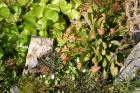 photographie gratuite Sarracenia psittacina