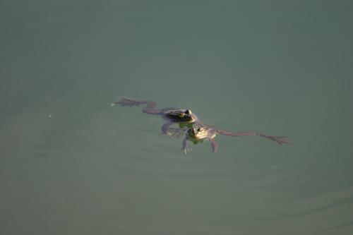 Crapaud, Amphibiens