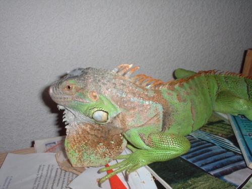 Iguana, Reptiles