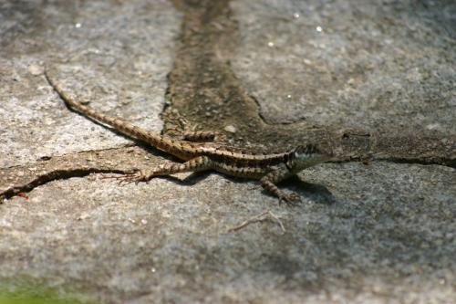 Lézard, Reptiles